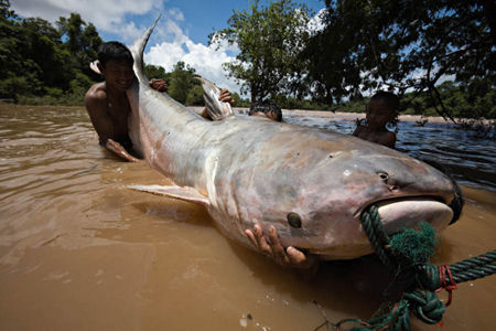This Mekong Giant Catfish was caught in the Khone Falls' Hou Sahong channel, where the Don Sahong Dam would be built. Photo from Save the Mekong website.