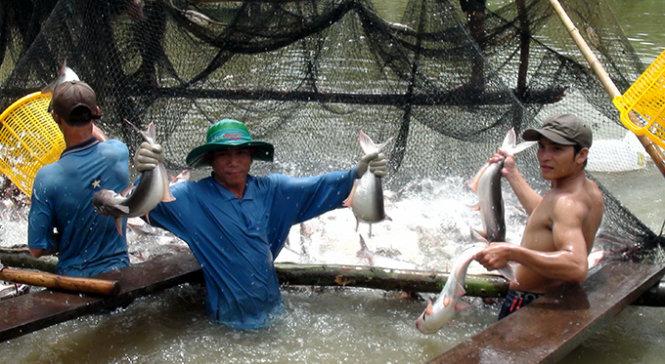 Ngành nuôi trồng thủy sản ở ĐBSCL sẽ bị đe dọa nghiêm trọng khi hàng loạt đập thủy điện được xây dựng ở thượng nguồn sông Mekong (Ảnh: Đ.Vịnh/Tuổi Trẻ)