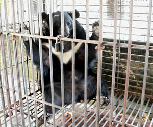 Vấn đề nuôi nhốt động vật hoang dã trái phép hiện vẫn chưa có lời giải thỏa đáng. Ảnh: PanNature.
